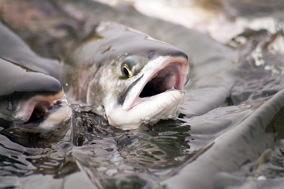 Учёные обеспокоены планами разработки торфяников близ нерестовых рек Камчатки